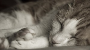 sleeping-cat-close-up
