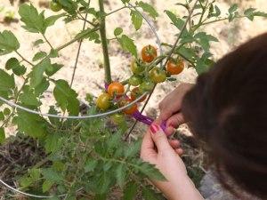 tying-tomatoes-pantyhose