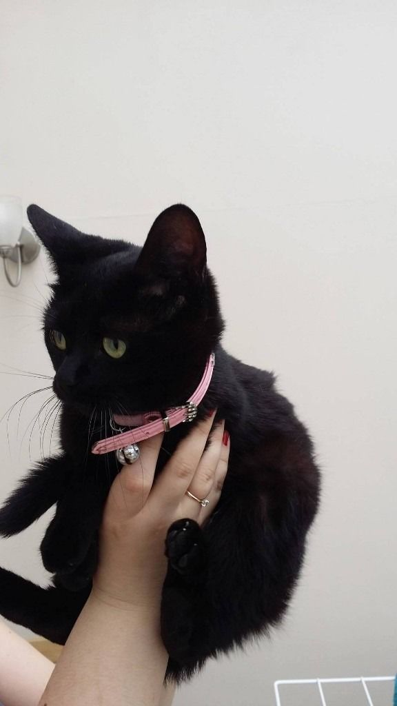 black-cat-pink-collar